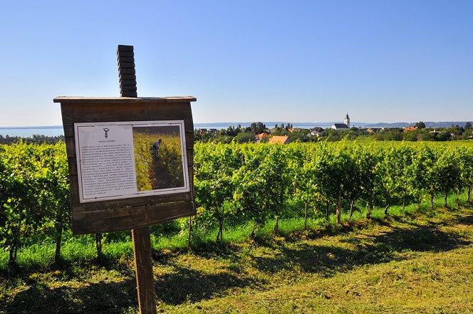 Sétálva a borászatról – Olaszrizling tanösvény Csopak és Paloznak között