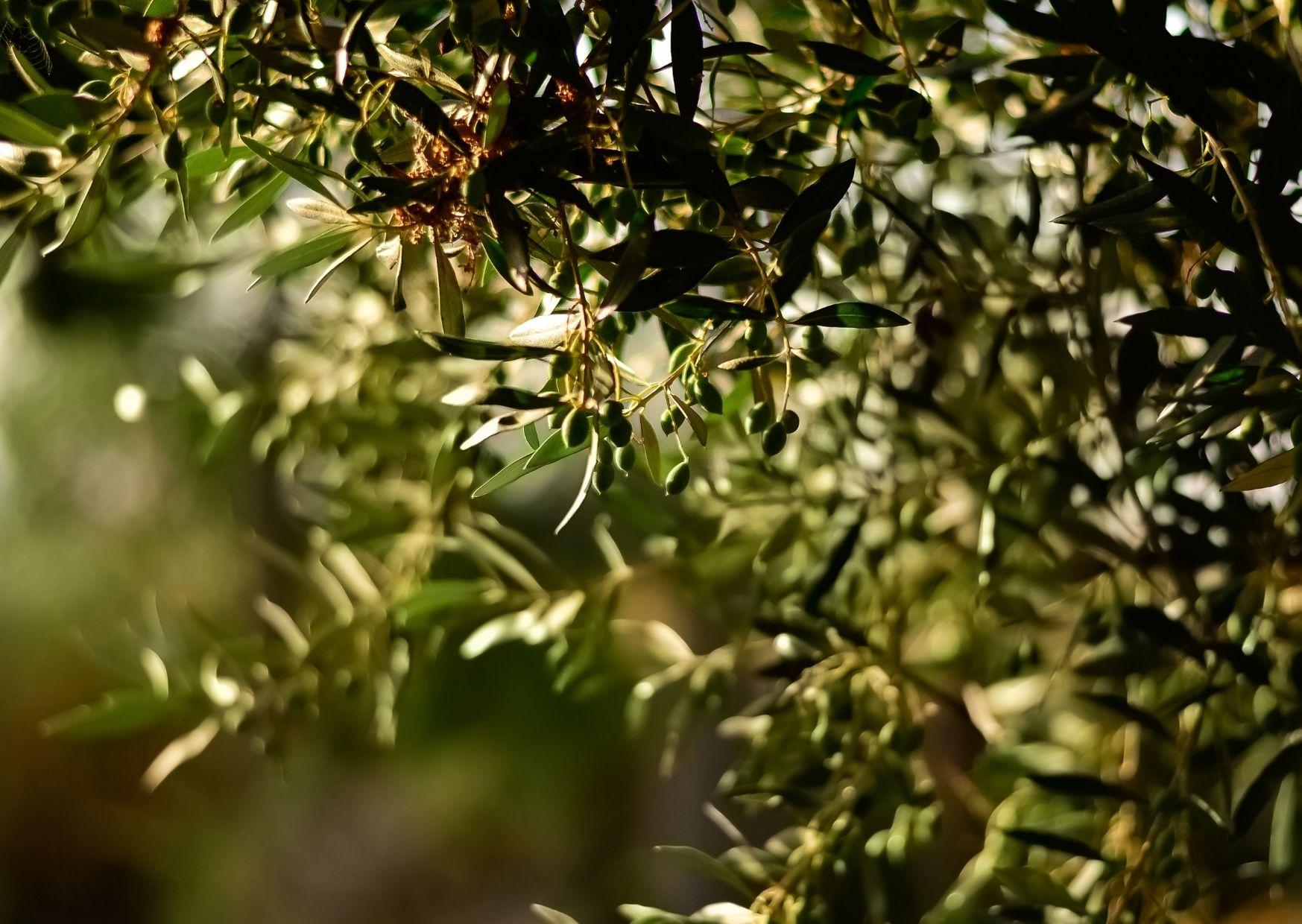 A Balatonnál készült el az első magyar olívaolaj