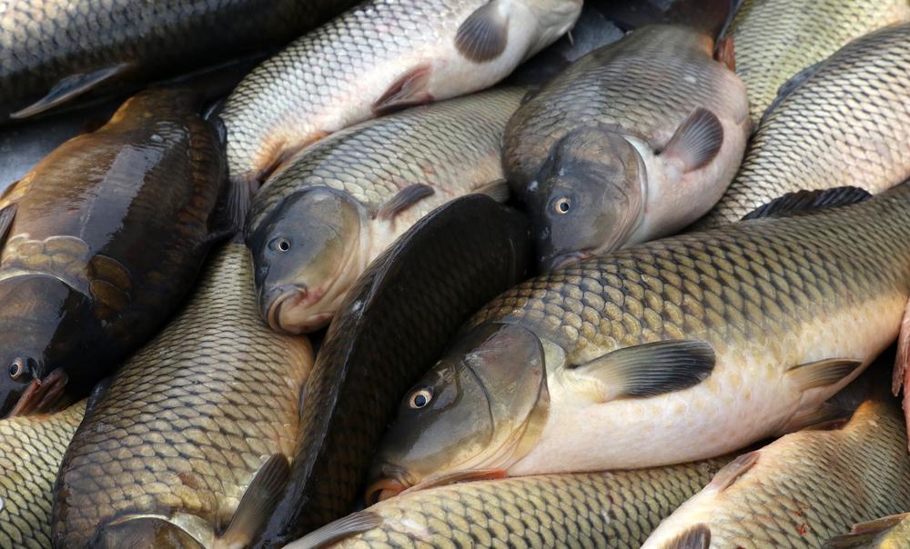 Visszatér a balatoni hal a serpenyőkbe?